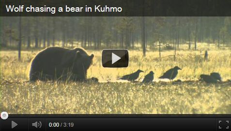 Wolf chasing a bear in Kuhmo